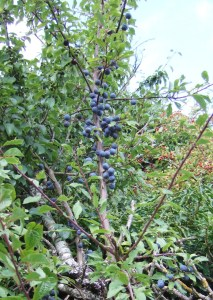Sloes (Prunus spinisa).