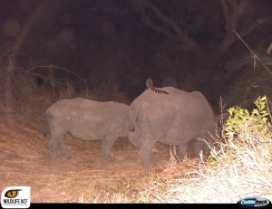 Genet-rhino_2_watermark-1024x789