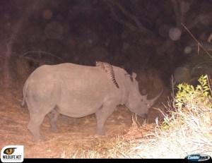 Genet-rhino_3_watermark-1024x789