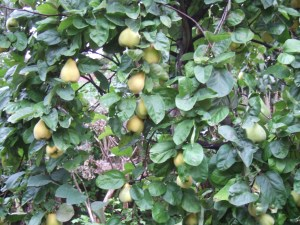 Rather fuzzy photo of the tree laden with last year's crop. taken 30 September 2014.