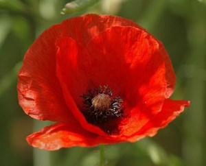 20050613-019-poppy (2)