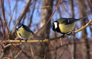 Blue tit (left) and great tit (right). Photo by Tatiana Gerus.