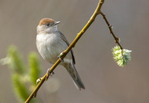 Female blackcap. Photo by Chris Romeiks (Vogelartinfo on Wikimedia Commons).