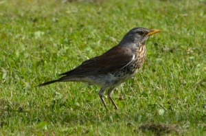 Fieldfare. Photo by Noel Reynolds.