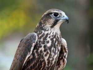 Saker falcon (Falco cherrug). Photo by Dick Daniels.