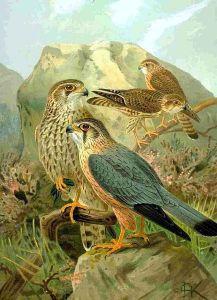 Merlin, Eurasian subspecies (Falco columbarius subsp. aesalon aesalon).