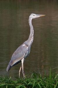 Grey heron (Ardea cinerea). Photo by Kclama.
