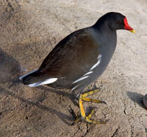 Moorhen (Gallinula chloropus). Photo by Tony Hisgett.