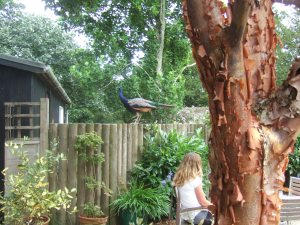 A canny peacock lurking at the cafe garden at the Larmer Tree Gardens. Lovely bark on the Acer griseum tree in the foreground.