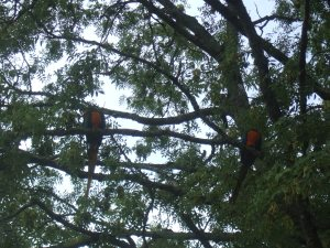 Spot the macaws!