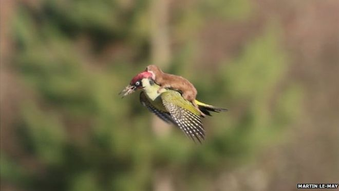 Weasel on a green woodpecker. Photo by Martin Le-May.