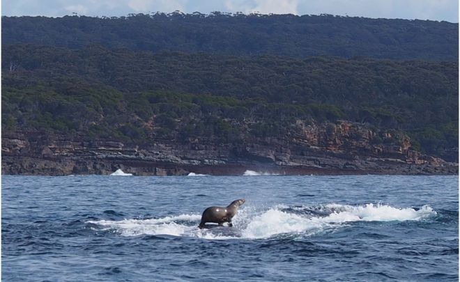 A seal hitching a ride on a humpback whale. Photo by Robyn Malcolm.