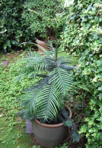 Our Wollemi pine, Dick, just after we got it in August 2009.