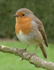 Robin (Erithracus rubecula). Photo by Ramin Nakisa.