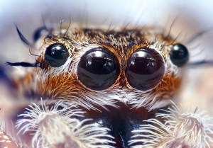 The eyes of a jumping spider. Photo by Opoterser.