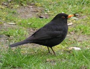 Male blackbird. Photo by Sannse.