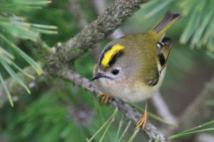 Female Goldcrest (Regulus Regulus). Photo by Missy Osborn.