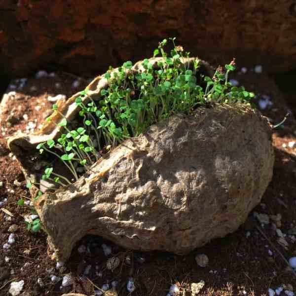 Seedbom Thyme Seedlings