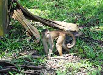 esemplare di macaco sotto un albero