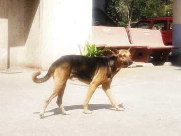 Stray Dog Chases Leopard Away