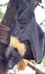 mariana-fruit-bat
