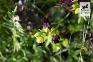 Orchidea al Parco della Giara