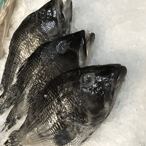 Image result for pictures of black sea bass 300 x 300