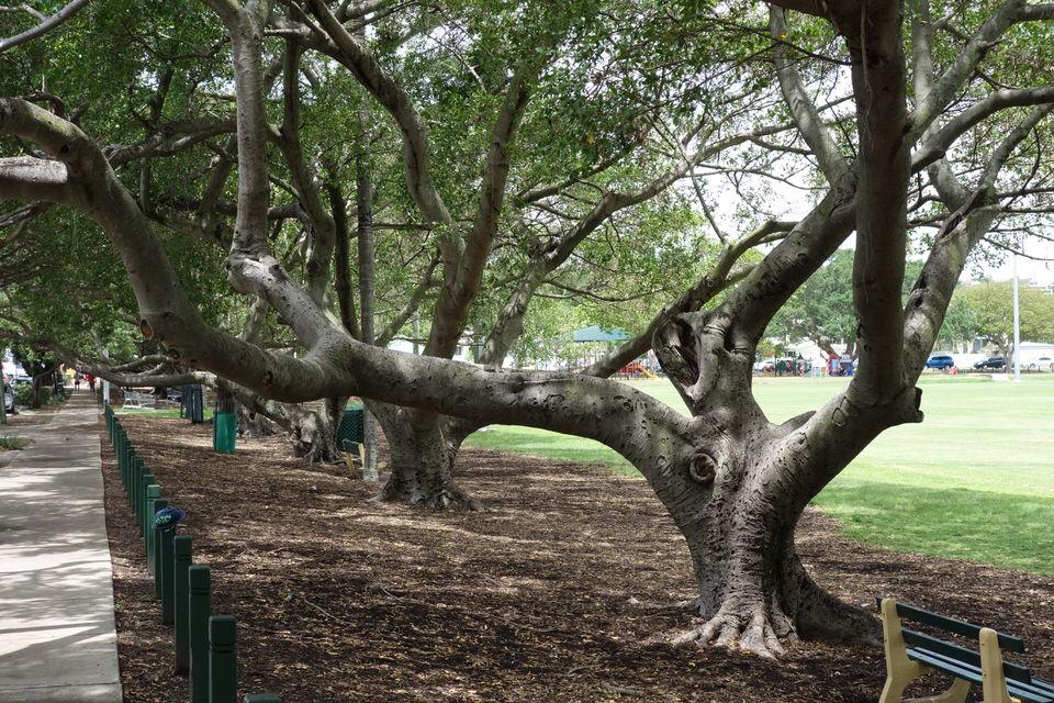 Fig Tree perch
