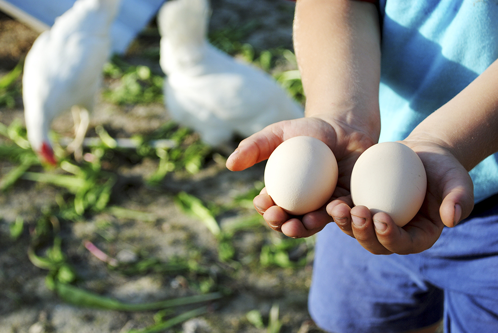 kid hands with eggs in the hen house