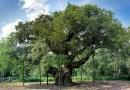 म्हणतात की, ह्याच वृक्षाच्या सावलीत रॉबिनहूड आणि त्याचे साथीदार आराम करायचे!