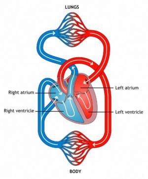 cardiovascular-yoga