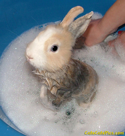 Picture of bath time for bunny: A really cute little rabbit gets a bubble