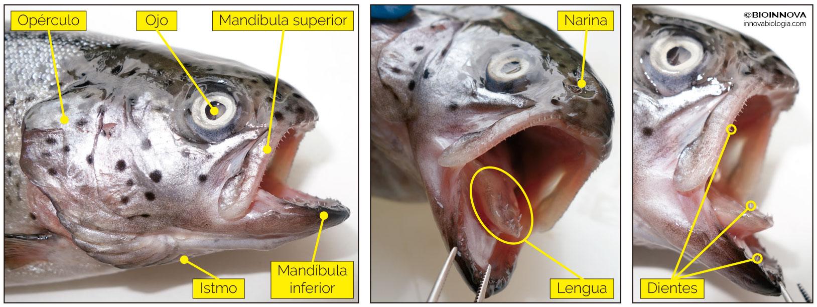 Anatomía de un vertebrado :: Trucha arcoíris – BIOINNOVA