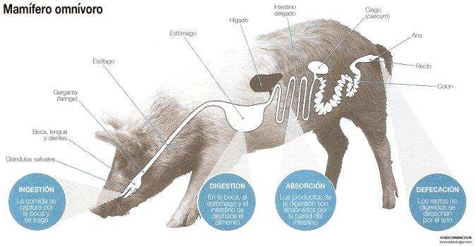 Tubo digestivo de un mamífero omnívoro