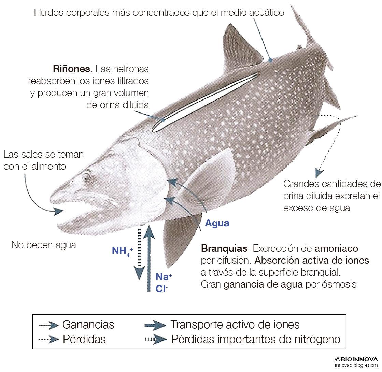 Los sistemas excretores en vertebrados – BIOINNOVA