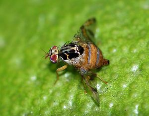 A female Mediterranean fruit-fly (Ceratitis ca...