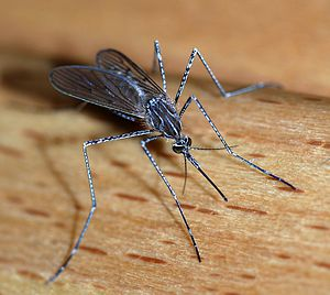 A female mosquito of the Culicidae family (Cul...