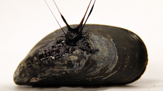 Mussels inspire self-healing sticky gel