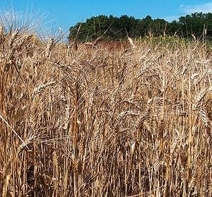 Salt Tolerance Breakthrough - Cross-bred wheat lifts yields
