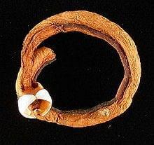 220px-Shipworm