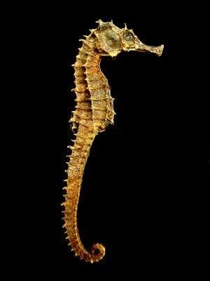 300px-Seahorse_Skeleton_Macro_8_-_edit