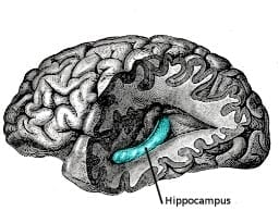 hippocampus-wikipedia-commons-c