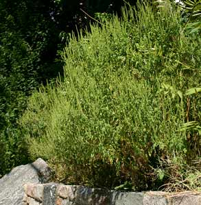 Common_ragweed_at_distance
