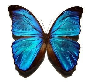 Butterfly wings + carbon nanotubes = new 'nanobiocomposite' material