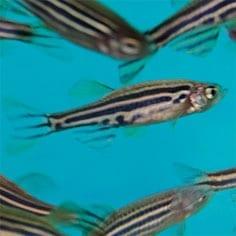 pressrel-collins-zebrafish-2361