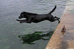 Labrador_Retriever_dive