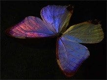 Butterfly wings inspire new technologies: from fabrics and cosmetics to sensors