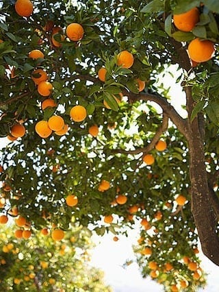 orange-tree-lg
