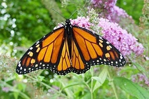 The People's Choice: Americans Would Pay to Help Monarch Butterflies
