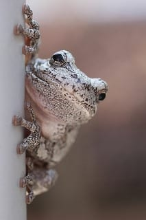 Amphibian Acrobat (Photo credit: LadyDragonflyCC - >;